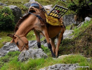horse triund